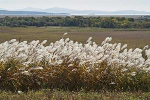 Amur silver grass Miscanthus sacchariflorus called Japanese silver grass photo