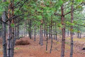 Coniferous pine young forest on a foggy morning photo