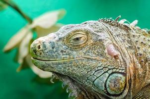 Big iguana on a green background photo