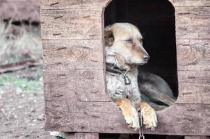 perro triste en una caseta de perro foto
