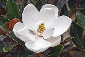 Southern magnolia flower photo