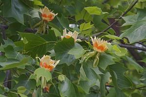Tulip tree flowers photo