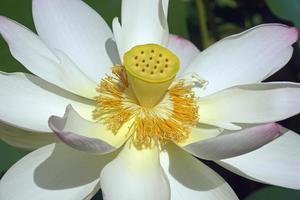 Sacred lotus flower photo