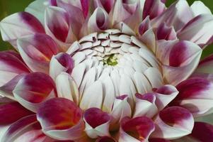 Dahlia flower Dahlia x cultorum photo