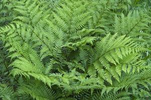 Close up of a lady fern photo