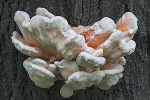 Young Sulphur shelf fungus Laetiporus sulphureus called Crab-of-the-woods, Sulphur polypore, and Chicken-of-the-woods photo