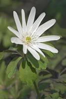 Raddes anemone Anemone raddeana photo