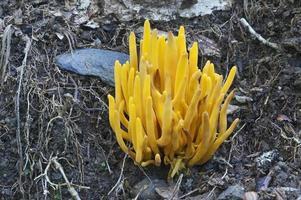 Golden spindles, Clavulinopsis fusiformis called Spindle-shaped yellow coral and Spindle-shaped fairy club photo