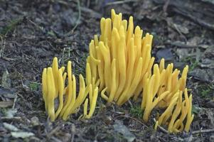 Golden spindles fungus, Clavulinopsis fusiformis, Spindle-shaped yellow coral, and Spindle-shaped fairy club.