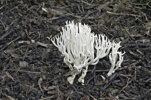 White coral fungus, or Ramariopsis kunzei photo
