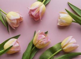 tulipanes de primavera sobre un fondo rosa foto