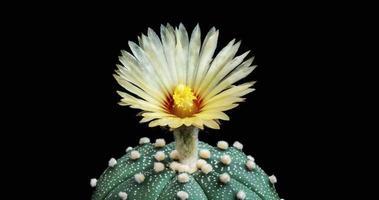 timelapse de flor branca desabrochando, abertura de cacto astrophytum video