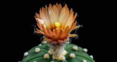 timelapse de flores coloridas desabrochando, abertura de cacto astrophytum video