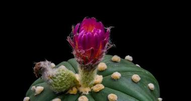 Timelapse of White and Pink Flower Blooming, Astrophytum Cactus Opening