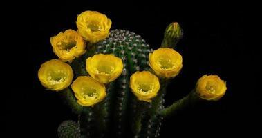 timelapse de flores amarelas desabrochando, abertura de cacto echinopsis video