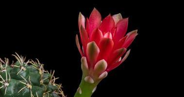 timelapse de flor vermelha florescendo, abertura de cacto gymnocalycium video