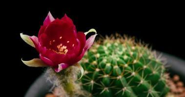 timelapse de flor vermelha florescendo, abertura de cacto lobivia video