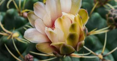 Timelapse of White Flower Blooming, Gymnocalycium Cactus Opening