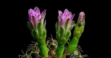 timelapse de flores rosa desabrochando, abertura de cacto gymnocalycium video