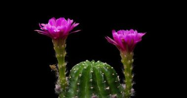 timelapse de flores rosa desabrochando, abertura de cacto echinopsis