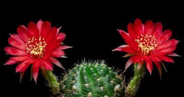 timelapse de flores vermelhas desabrochando, abertura de lobivia cactus video