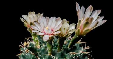 timelapse de flores brancas florescendo, abertura de cacto gymnocalycium video