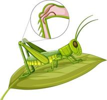 Grasshopper body close up isolated on white background vector