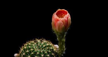timelapse de flor de laranjeira florescendo, abertura de cacto lobivia video