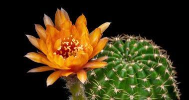 Zeitraffer der blühenden Orangenblüte, Lobivia-Kaktusöffnung