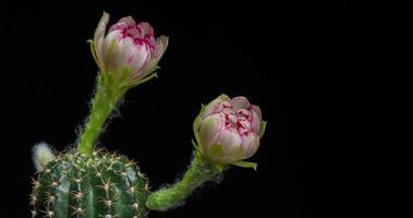 timelapse de flores brancas desabrochando, abertura de lobivia cactus