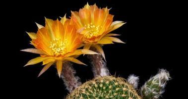 timelapse de flores de laranjeira desabrochando, abertura de lobivia cactus video