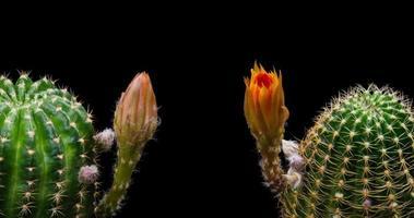 timelapse de flores de laranjeira desabrochando, abertura de lobivia cactus