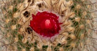timelapse de flor vermelha florescendo em um close-up