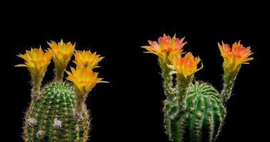 timelapse de flores amarelas desabrochando, abertura de lobivia cactus