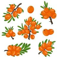 A set of orange branches of sea buckthorn berries. Vector illustration isolated on a white background. The concept of the image of medicinal plants, herbs.