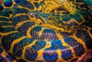 Coiled anaconda snake photo