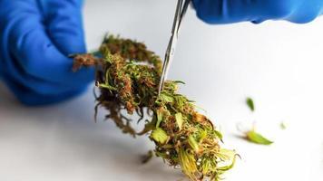Processing marijuana raw materials for store sales photo