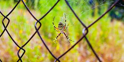 Yellow striped spider weaves a web on metal grid close-up