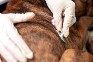 veterinario escucha los latidos del corazón de un perro foto