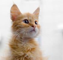 gatito atigrado naranja foto