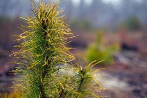 Ramita de pino de hoja perenne de coníferas en el fondo del bosque borroso con gotas de rocío foto