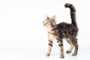 Pequeño gatito atigrado de pie sobre un fondo blanco. foto
