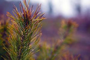 Sprig of coniferous evergreen pine on blurred forest background with dew drops on needles