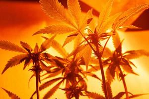Cultivation of cannabis indoors under artificial light lamps photo