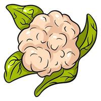 Bright vector collection of colorful cauliflower. Fresh cartoon organic vegetable isolated on white background.