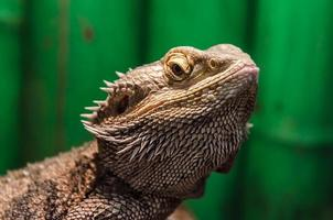 primer plano de lagarto iguana foto