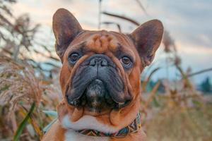 primer plano, de, un, bulldog francés foto