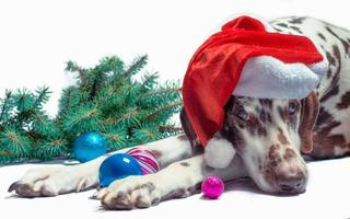 perro dálmata en un gorro de Papá Noel foto