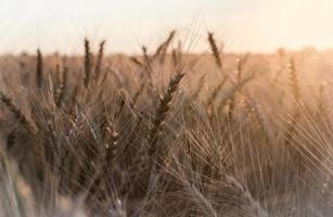 campo de trigo en la luz del sol foto