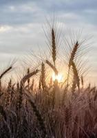 amanecer en un campo de trigo foto